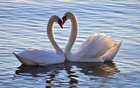 Zwaan liefde relatie